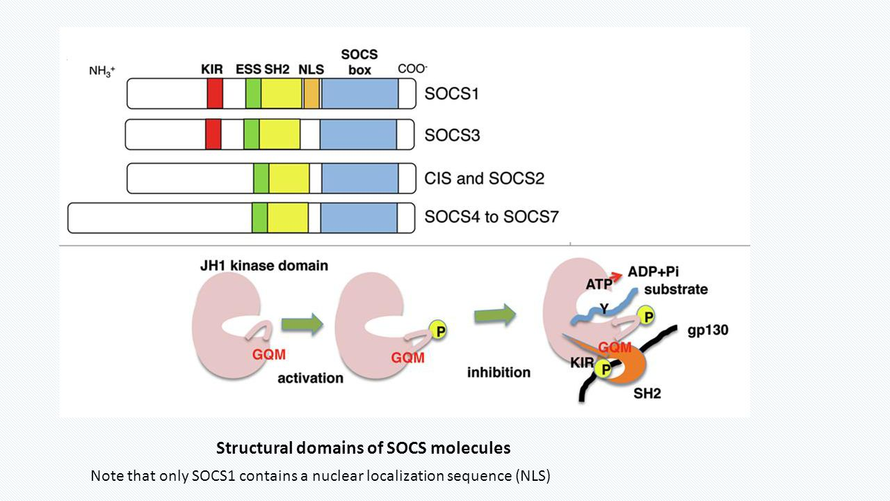 Structural domains of SOCS molecules