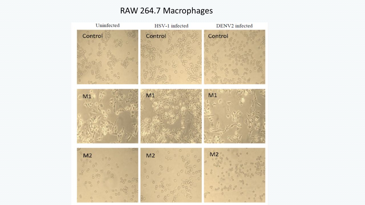 RAW 264.7 Macrophages