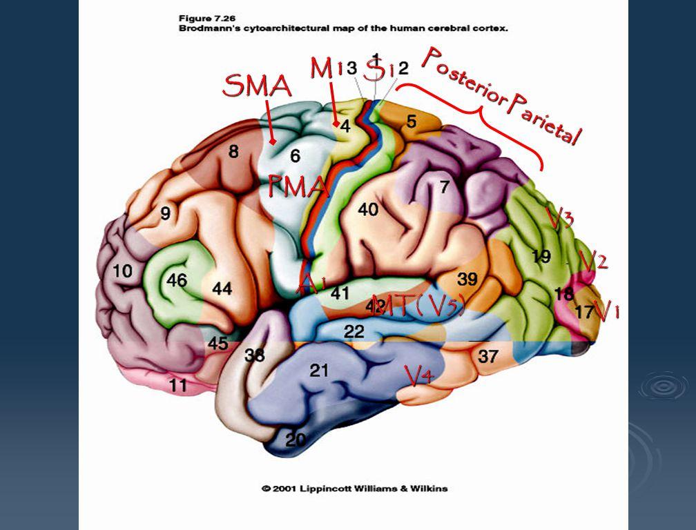 V1 V2 V3 S1 M1 SMA V4 MT( V5) A1 PMA Posterior Parietal