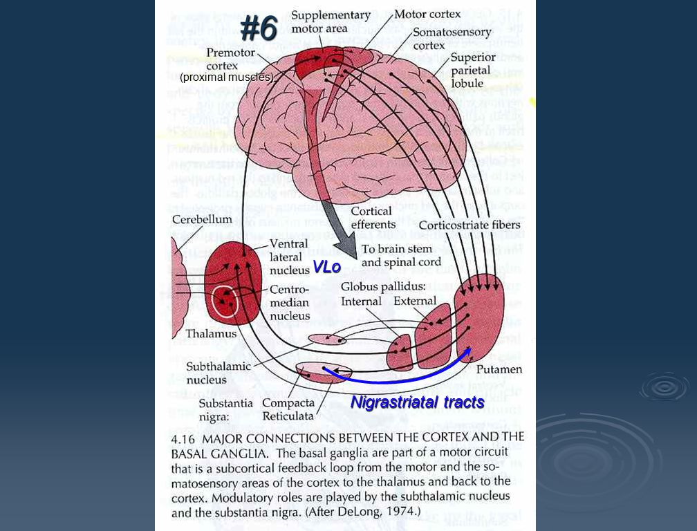 #6 (proximal muscles) VLo Nigrastriatal tracts