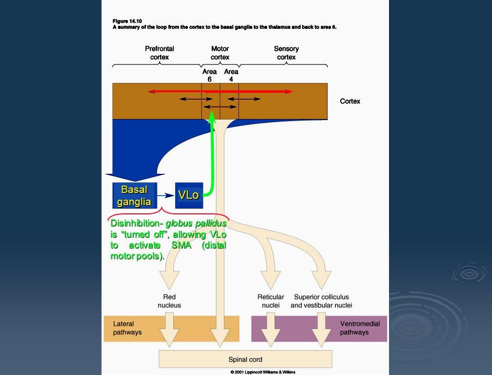 Basal ganglia VLo.