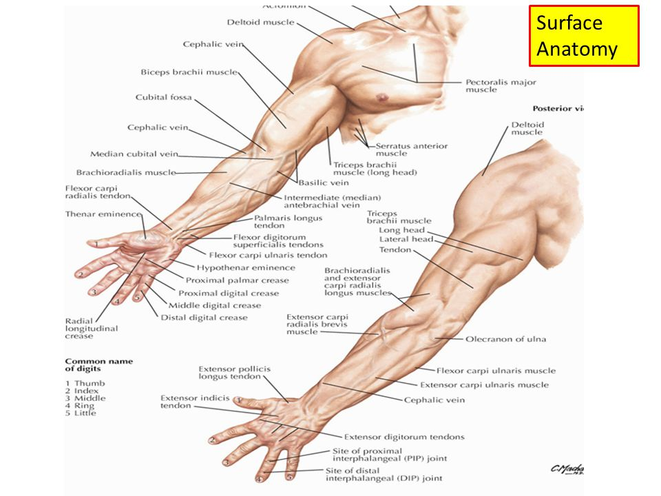 Anatomy of an arm