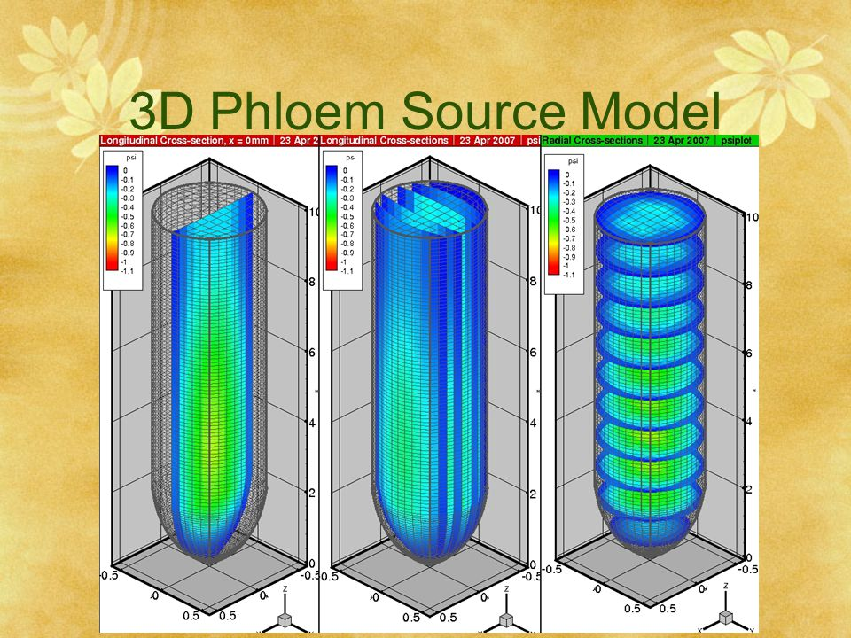 3D Phloem Source Model