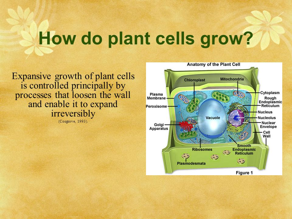 How do plant cells grow