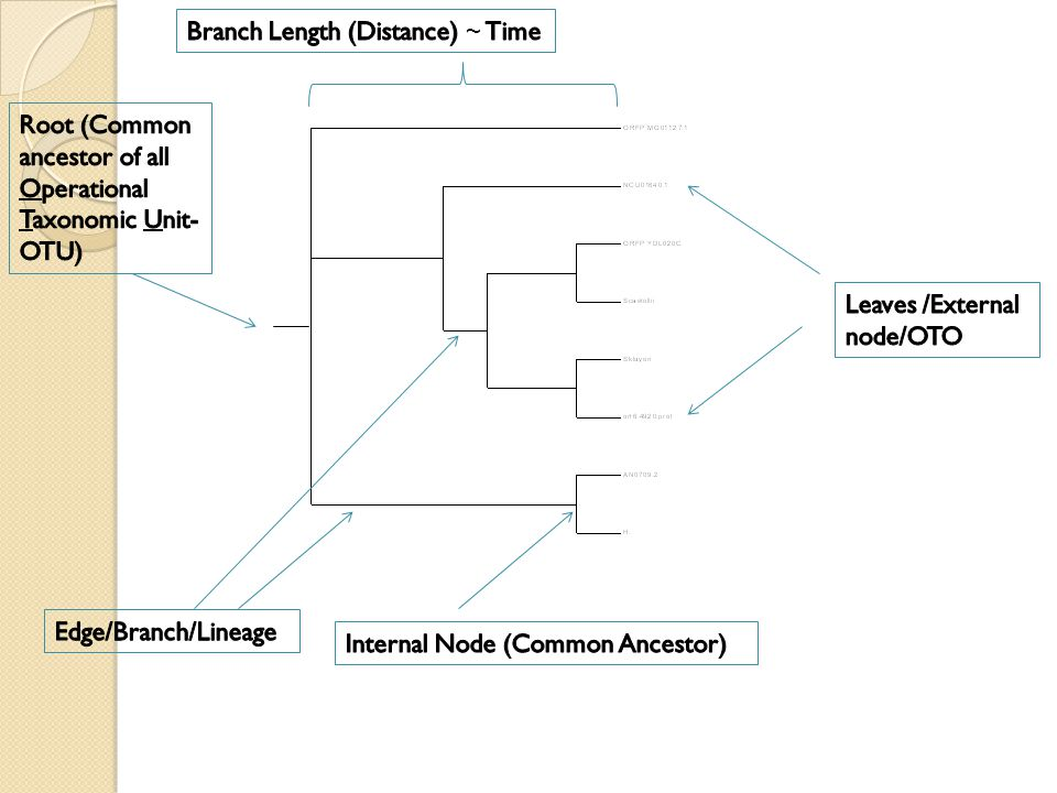 Branch Length (Distance) ~ Time