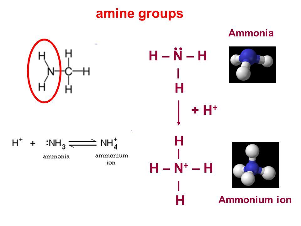 amine groups Ammonia H – N – H H + H+ H H – N+ – H H Ammonium ion