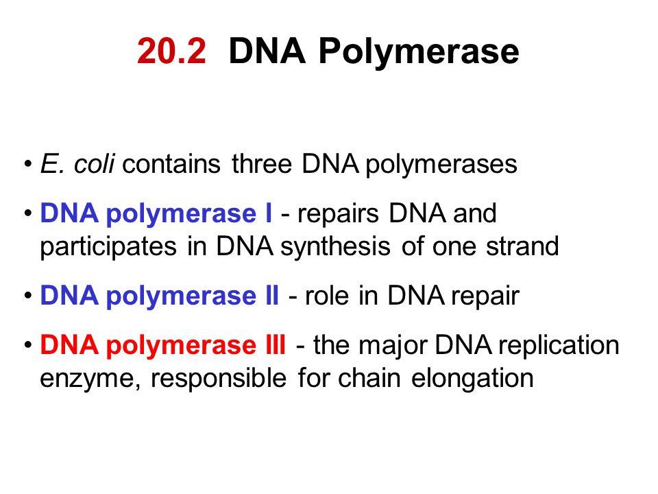 20.2 DNA Polymerase E. coli contains three DNA polymerases