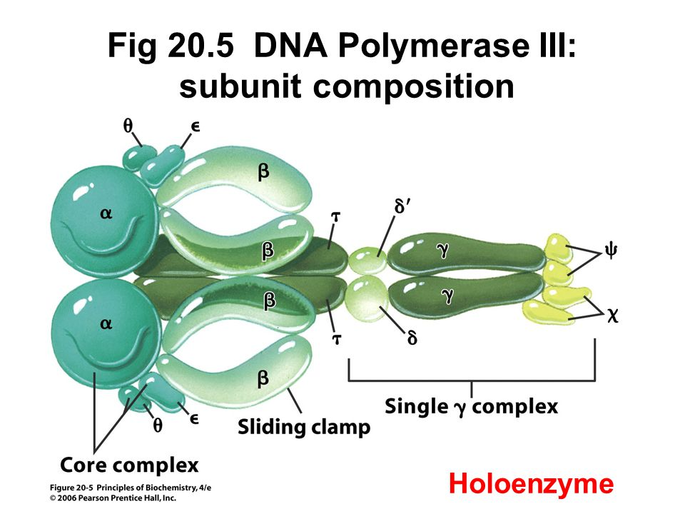Fig 20.5 DNA Polymerase III: subunit composition