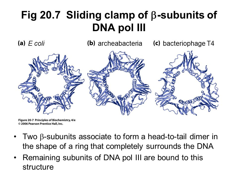 Fig 20.7 Sliding clamp of b-subunits of DNA pol III