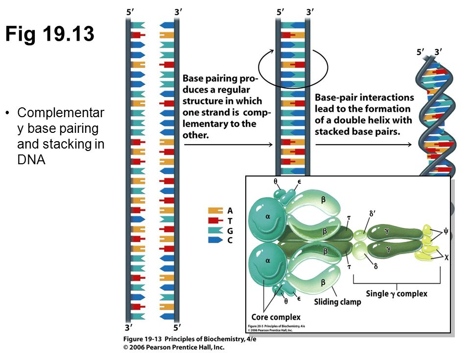 Fig 19.13 Complementary base pairing and stacking in DNA