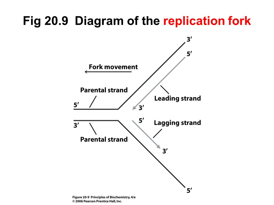 Fig 20.9 Diagram of the replication fork