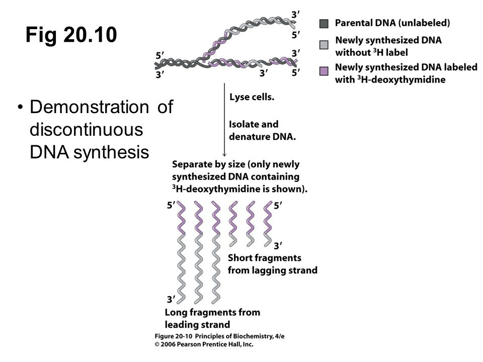 Fig 20.10 Demonstration of discontinuous DNA synthesis