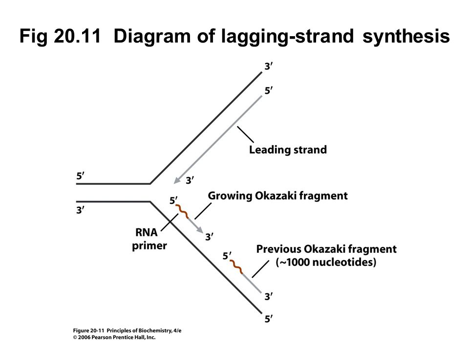 Fig 20.11 Diagram of lagging-strand synthesis