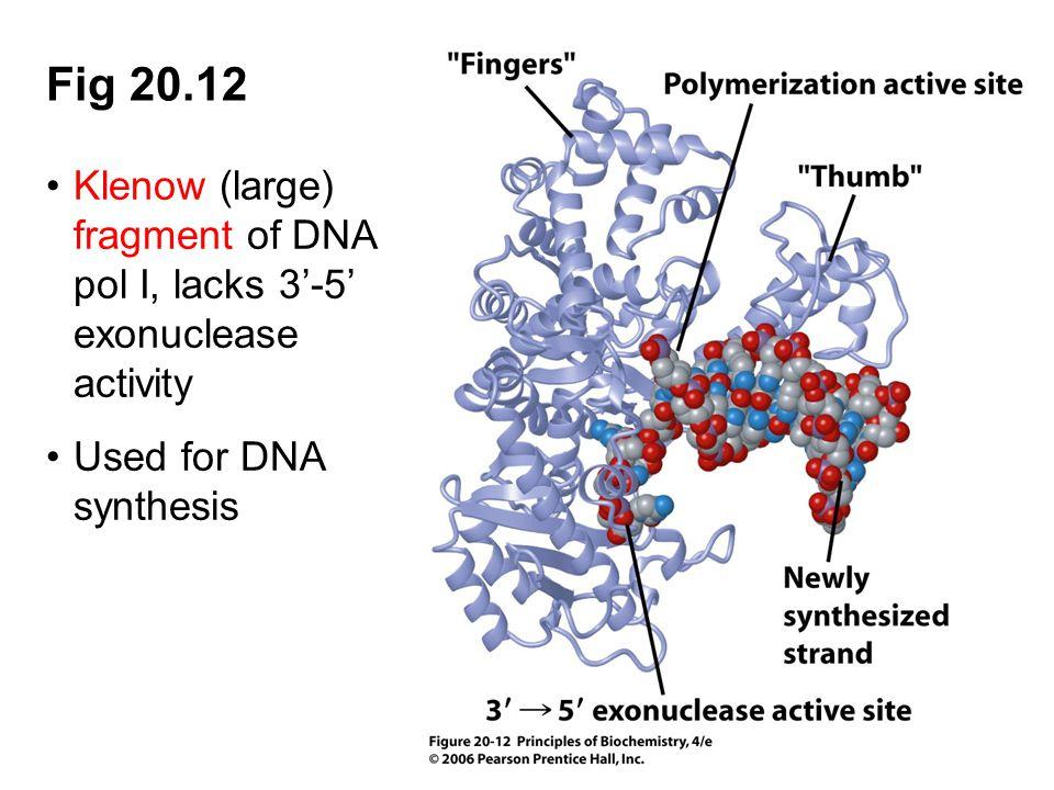 Fig 20.12 Klenow (large) fragment of DNA pol I, lacks 3'-5' exonuclease activity.