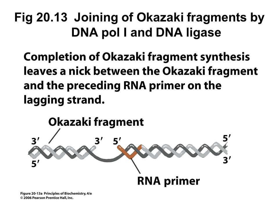 Fig 20.13 Joining of Okazaki fragments by DNA pol I and DNA ligase