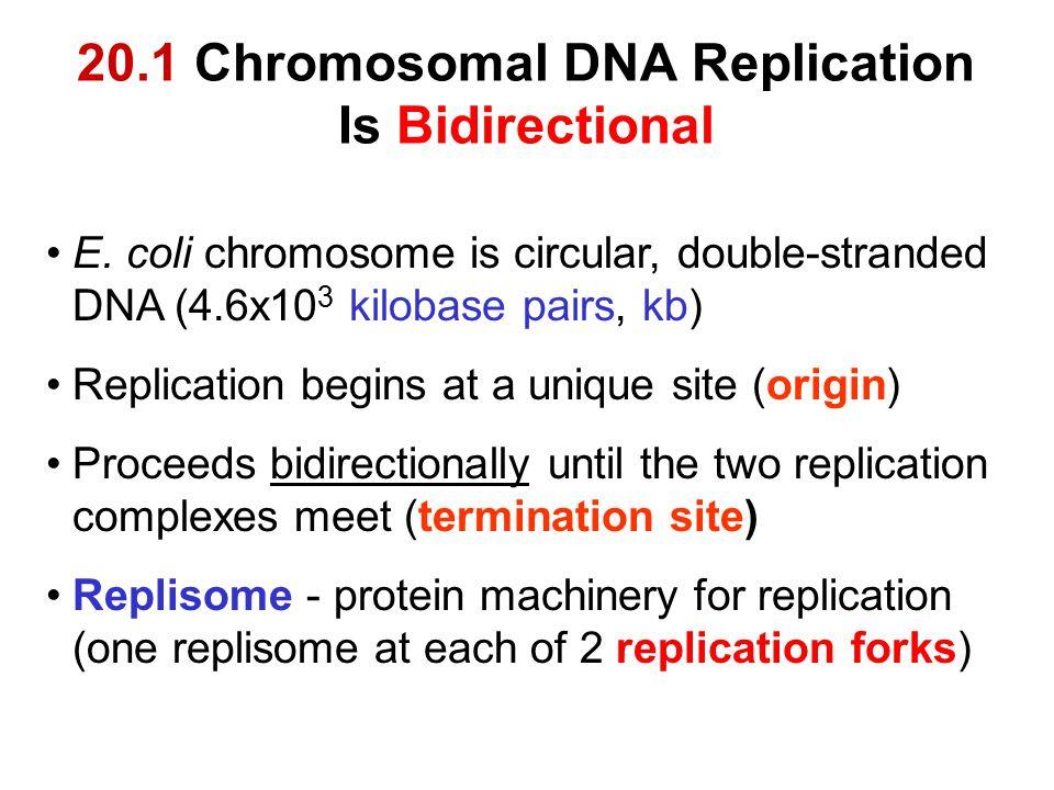 20.1 Chromosomal DNA Replication Is Bidirectional
