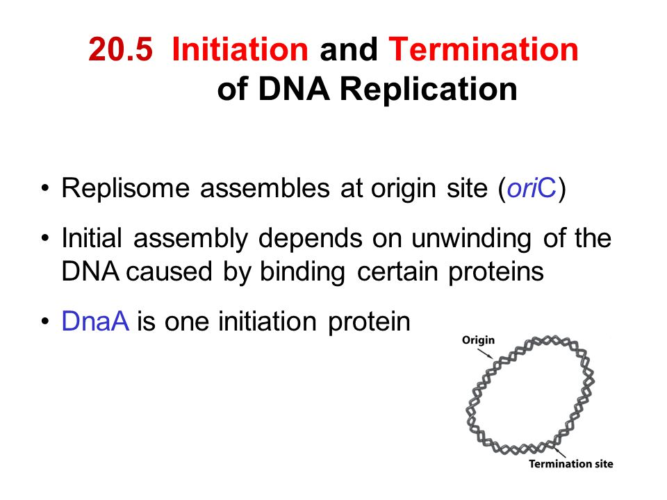 20.5 Initiation and Termination of DNA Replication