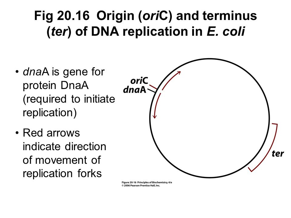 Fig 20. 16 Origin (oriC) and terminus (ter) of DNA replication in E
