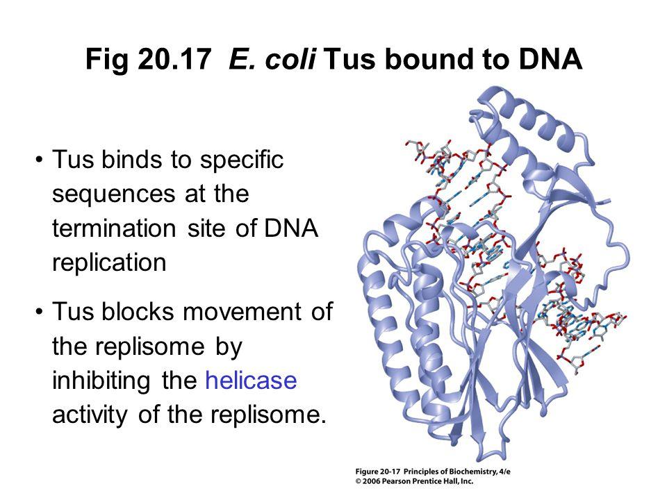Fig 20.17 E. coli Tus bound to DNA