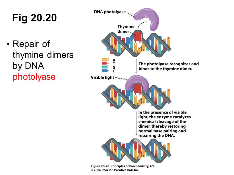 Fig 20.20 Repair of thymine dimers by DNA photolyase