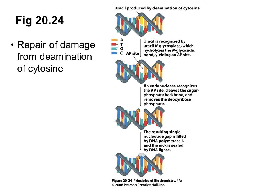 Fig 20.24 Repair of damage from deamination of cytosine