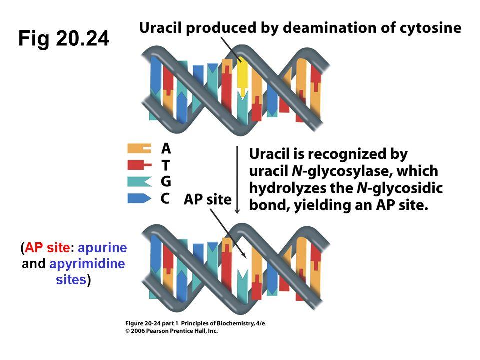 (AP site: apurine and apyrimidine sites)