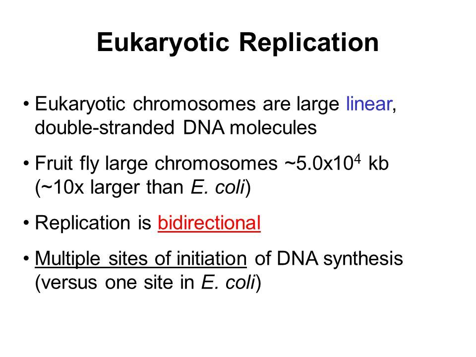 Eukaryotic Replication