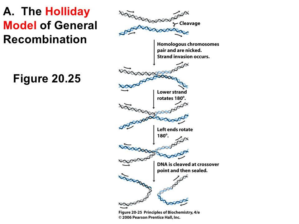 Principles of biochemistry ppt video online download a the holliday model of general recombination ccuart Images