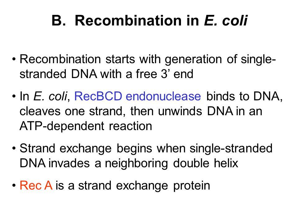 B. Recombination in E. coli