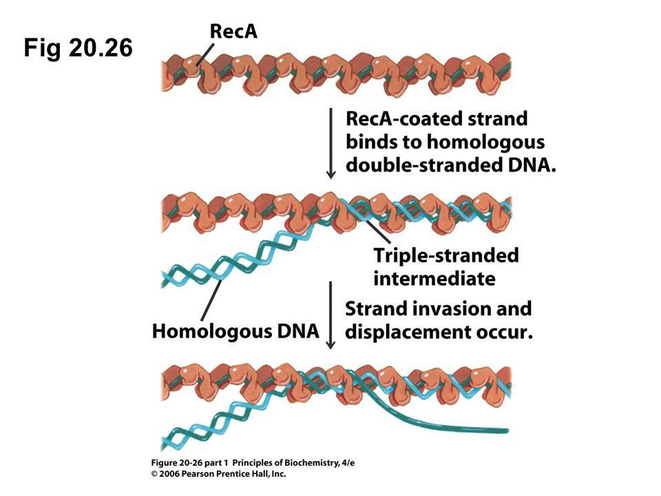 Fig 20.26 Figure 20.26 Strand exchange catalyzed by RecA.
