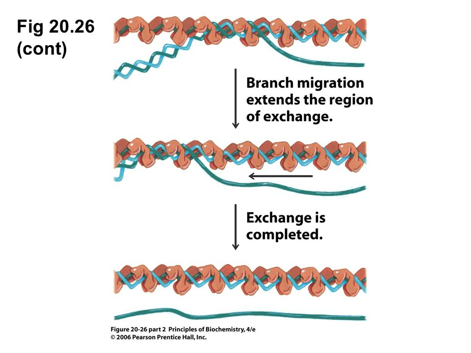 Fig 20.26 (cont) Figure 20.26 Strand exchange catalyzed by RecA.