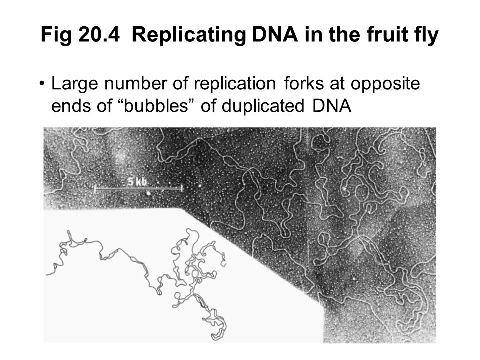 Fig 20.4 Replicating DNA in the fruit fly