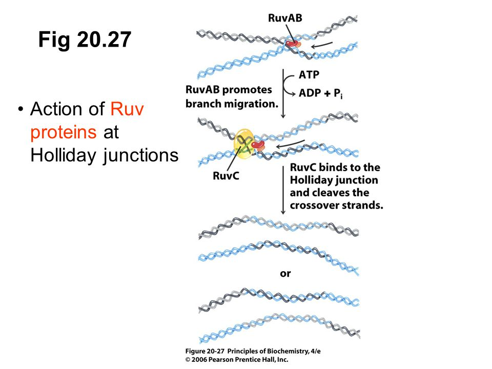 Fig 20.27 Action of Ruv proteins at Holliday junctions