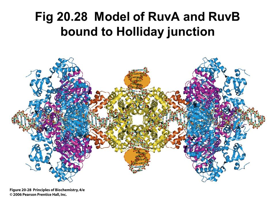 Fig 20.28 Model of RuvA and RuvB bound to Holliday junction