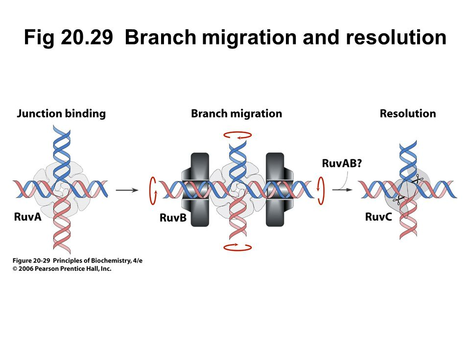 Fig 20.29 Branch migration and resolution