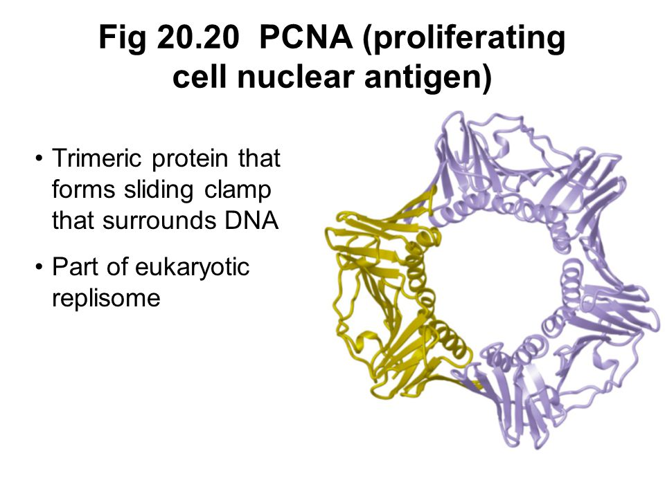 Fig 20.20 PCNA (proliferating cell nuclear antigen)