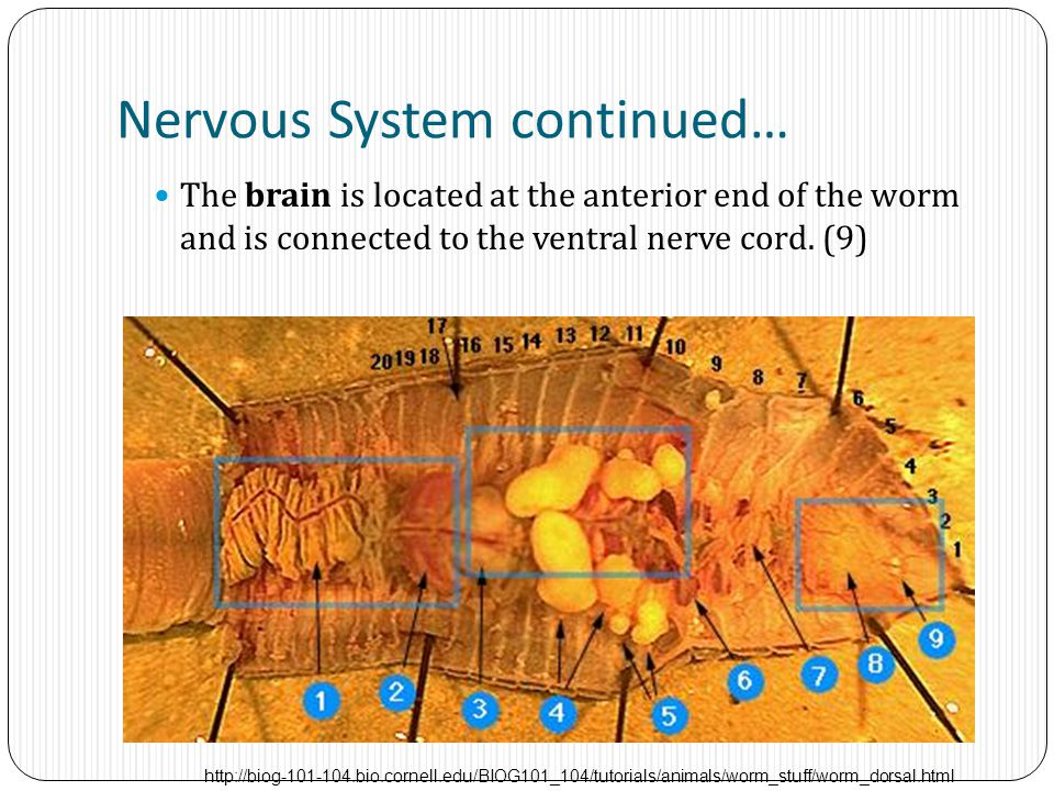 Nervous System continued…
