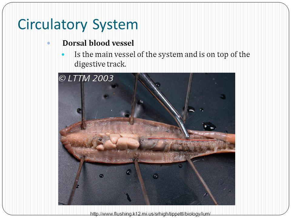 Circulatory System Dorsal blood vessel