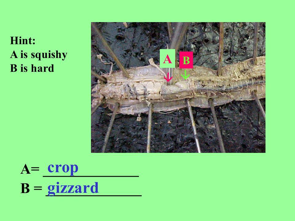 crop gizzard A= _____________ B = _____________ A Hint:
