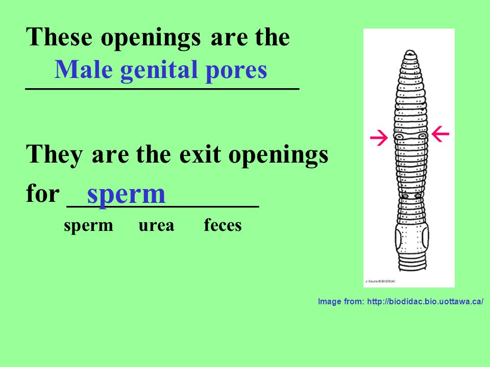 sperm These openings are the ____________________ Male genital pores