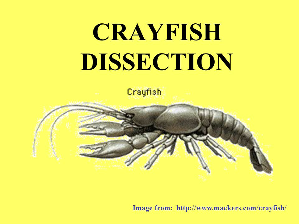 CRAYFISH DISSECTION Image from: http://www.mackers.com/crayfish/