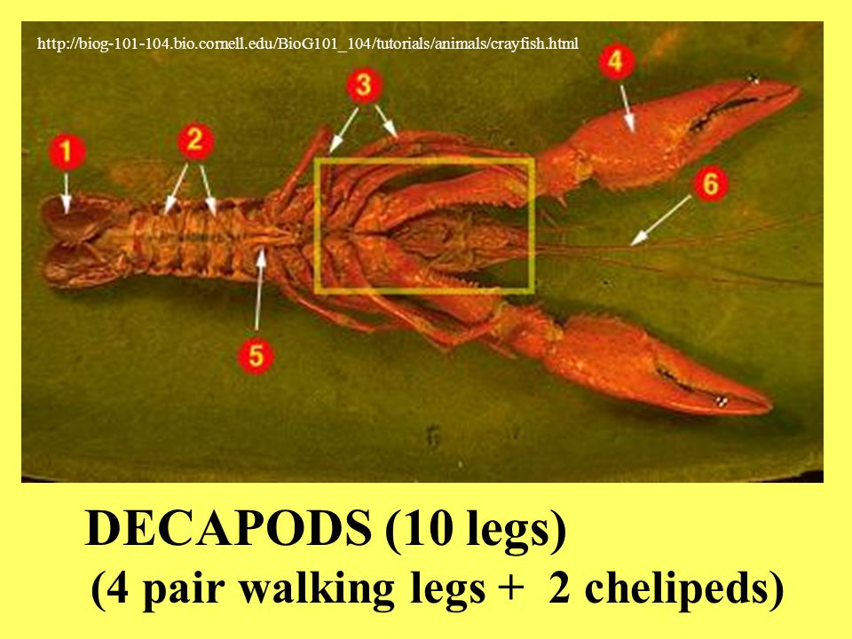 DECAPODS (10 legs) (4 pair walking legs + 2 chelipeds)