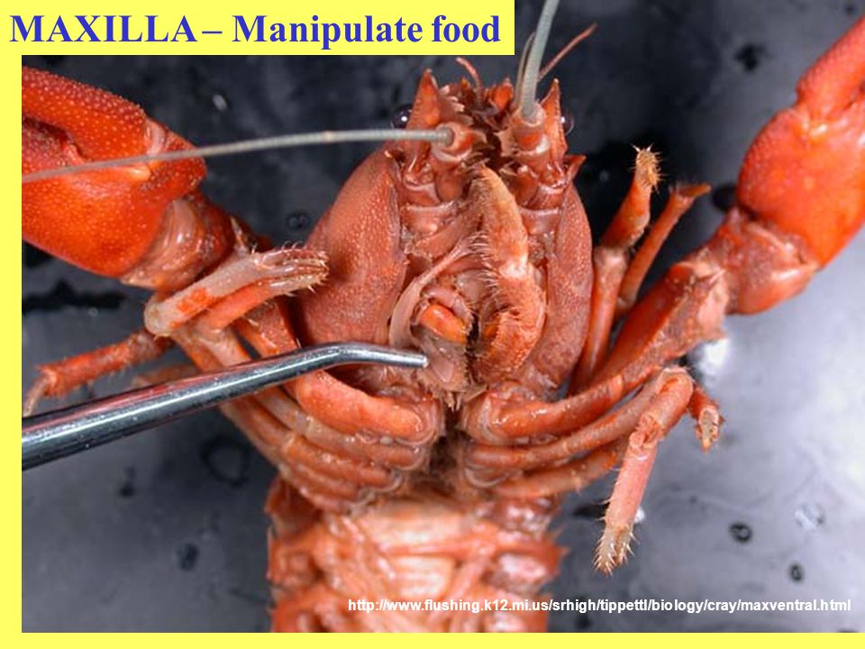 MAXILLA – Manipulate food