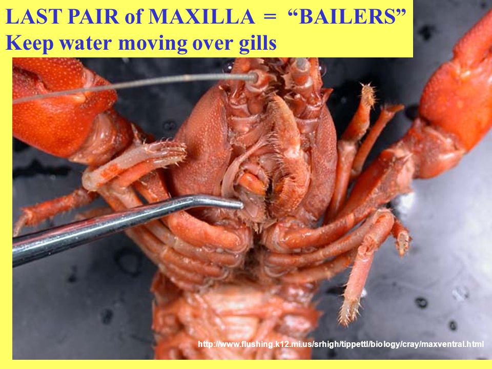 LAST PAIR of MAXILLA = BAILERS Keep water moving over gills