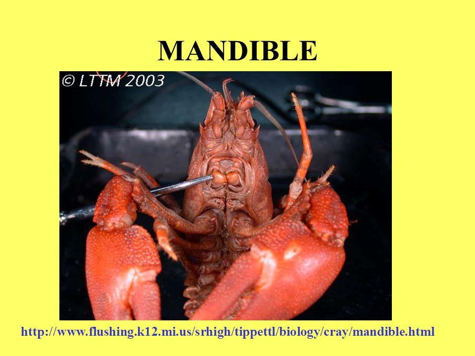 MANDIBLE http://www.flushing.k12.mi.us/srhigh/tippettl/biology/cray/mandible.html