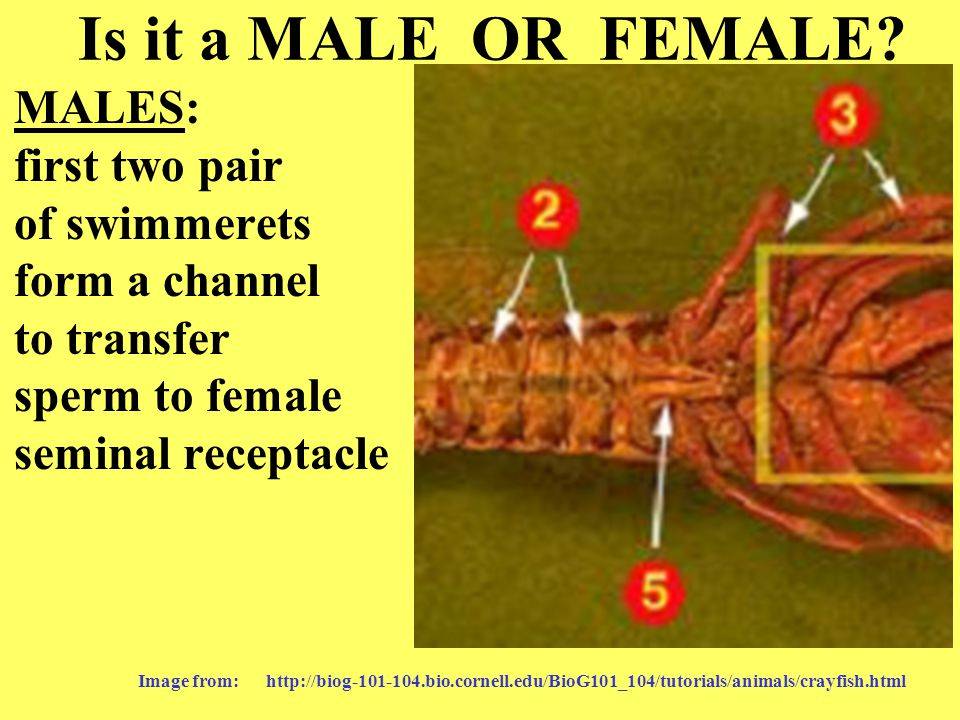Is it a MALE OR FEMALE MALES: first two pair of swimmerets form a channel to transfer sperm to female seminal receptacle.