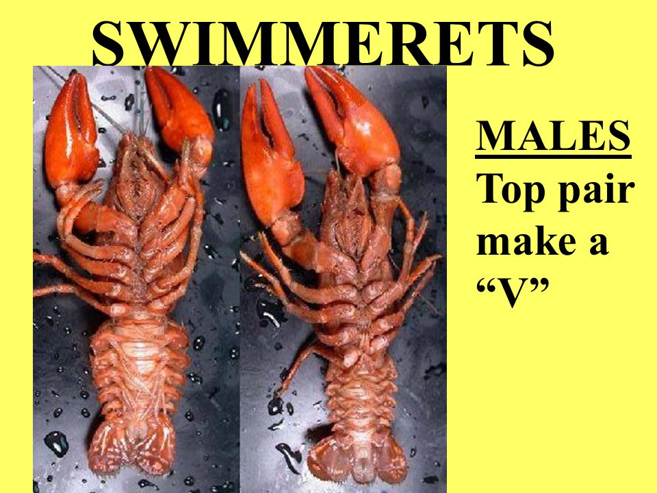SWIMMERETS MALES Top pair make a V