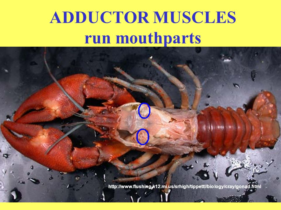 ADDUCTOR MUSCLES run mouthparts