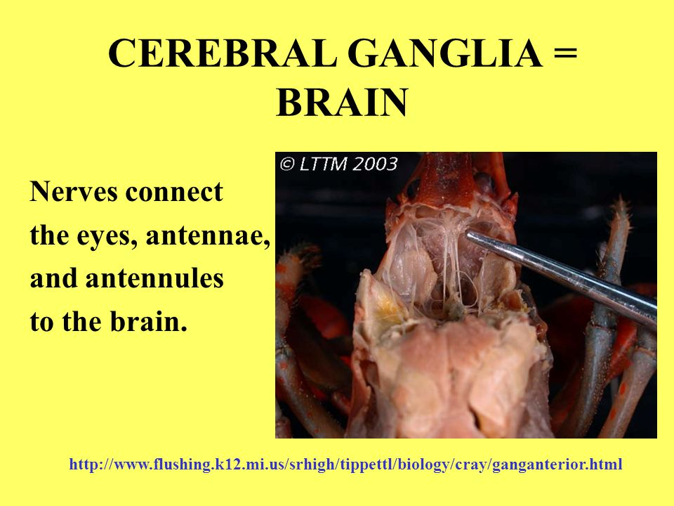 CEREBRAL GANGLIA = BRAIN