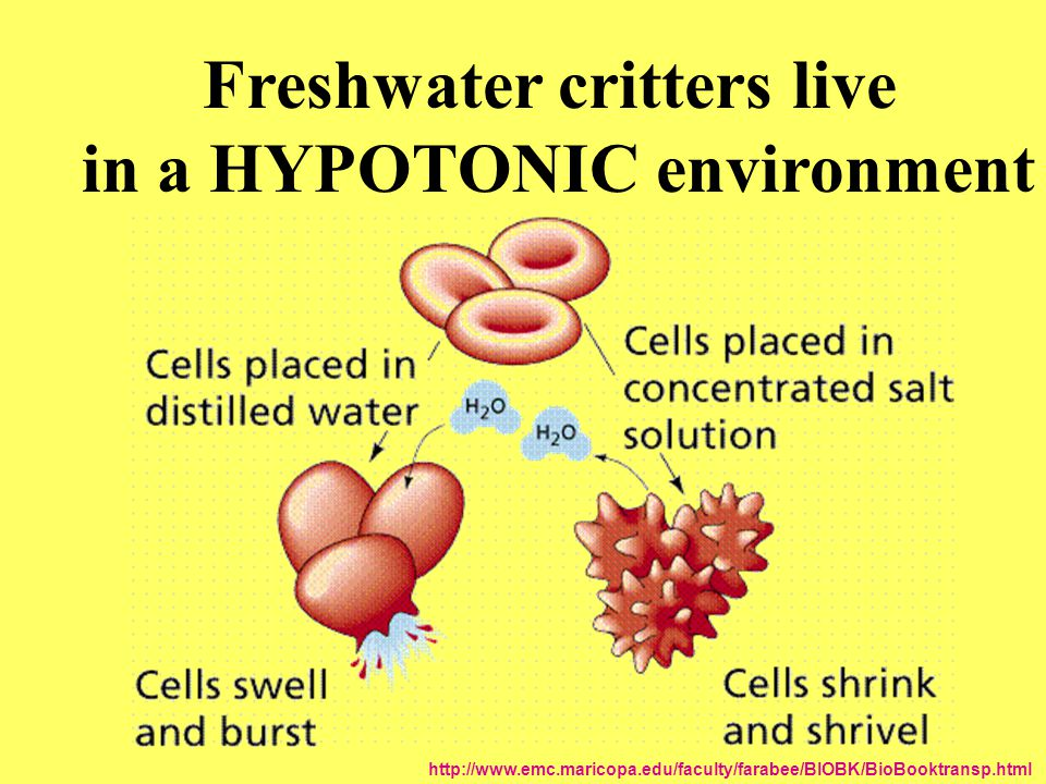 Freshwater critters live in a HYPOTONIC environment